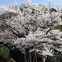岐阜護国神社の鵜飼桜