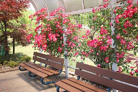 大野町バラ公園バラとベンチ