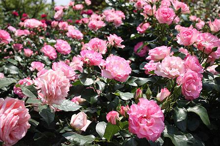 大野町バラ公園ピンクのバラ