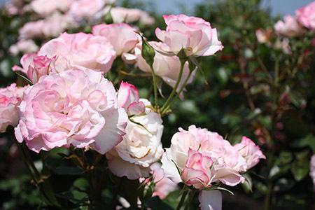 大野町バラ公園白いバラ