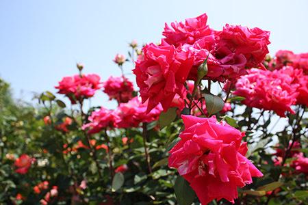 大野町バラ公園赤いバラ