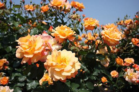 大野町バラ公園黄色いバラ