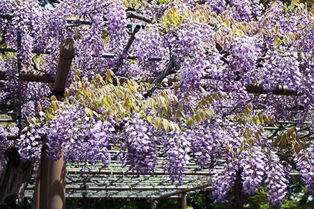 曼陀羅寺の藤まつり紫の藤