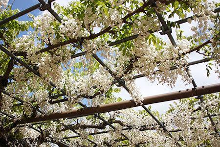 曼陀羅寺の藤まつり白い藤