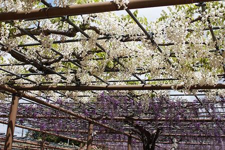 曼陀羅寺の藤まつり
