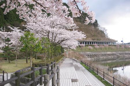 阿木川ダムの桜