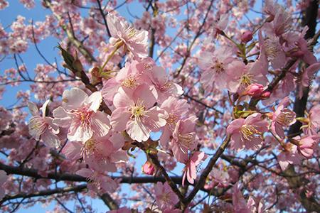 乙川堤の葵桜
