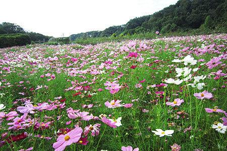 花フェスタ記念公園コスモスまつり