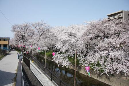 五条川水辺の桜