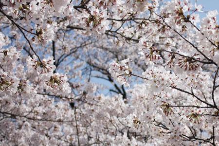 五条川の桜まつり
