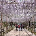 曼陀羅寺の藤まつり(江南藤まつり)