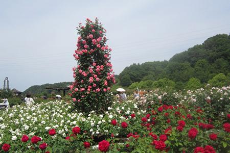 花フェスタ記念公園の薔薇