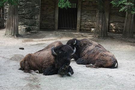 東山動物園バッファロー