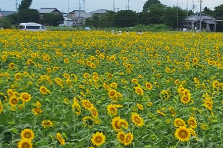 羽島ひまわり