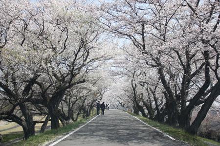 木曽川堤の桜のトンネル