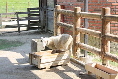 鞍ヶ池公園羊