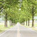 マキノメタセコイア並木