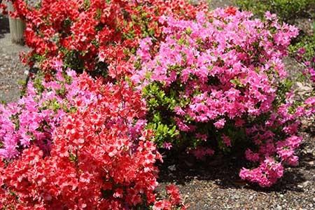 曼陀羅寺の藤まつり花々