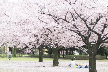 光明寺公園の桜