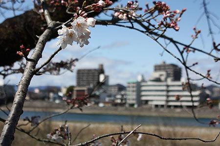 長良川堤の桜