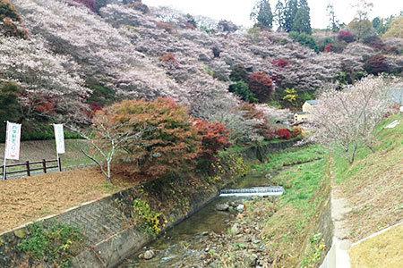 小原ふれあい公園四季桜まつり