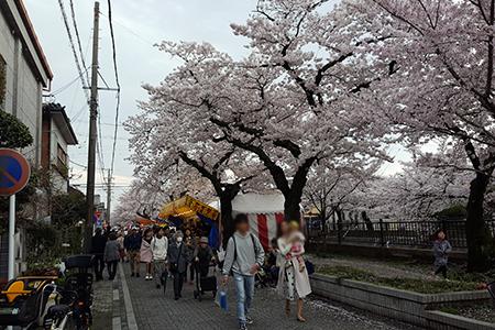大江川河畔の桜