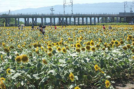 大垣ひまわり畑