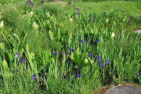 ひるがの湿原植物園季節の花