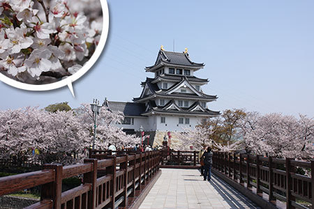 墨俣一夜城の桜