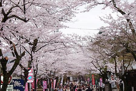 谷汲山華厳寺参道の桜