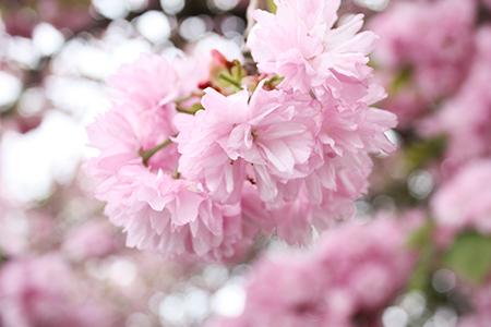 二上山の八重桜