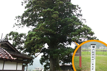郡上戸隠神社一本杉