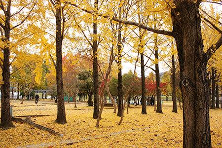 雄日ヶ丘公園のイチョウ並木